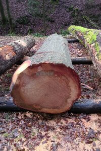 Wood submission American Oak